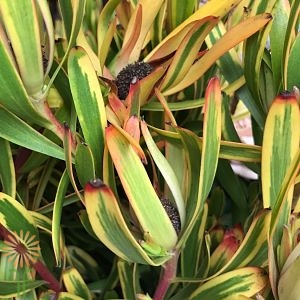 wholesale flowers | leucadendron- yellow