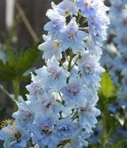 Light Blue Hybrid Delphinium