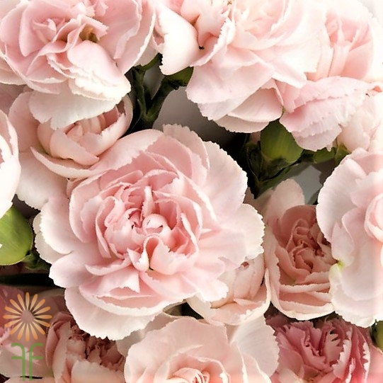 wholesale light-pink-carnation