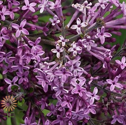 wholesale flowers | lilac-purple