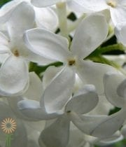 Wholesale Flowers | Lilac-white