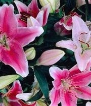 Lily Oriental, Assorted-pink