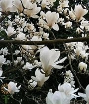 White Japanese Magnolia Branches