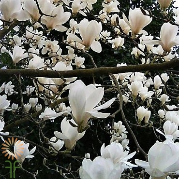 Buy Fresh White Flowering Magnolia Branches Online