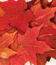 Maple Leaves-red