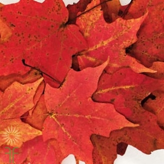 maple-leaves-red
