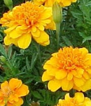 Orange African Marigolds