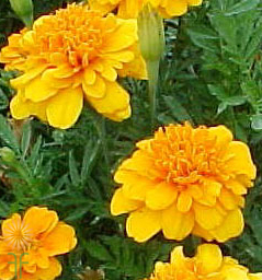 marigold_african_orange