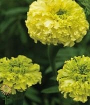 Marigolds, African-yellow