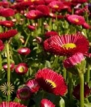 Mums, Spray-Micro Daisy-red
