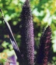 Purple Majesty Millet