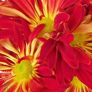 wholesale flowers | mums- rover red