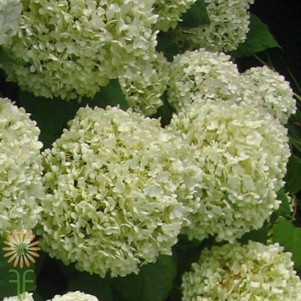 wholesale hydrangea-mini green
