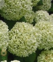 Green Lemon Hydrangeas