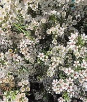 Waxflowers-mini White