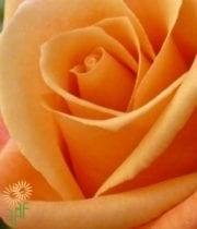 Rose, S.A.-Orange Unique 50CM-orange