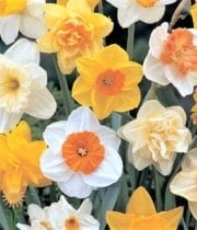 Daffodils-assorted