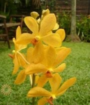 Yellow Mokara Orchid
