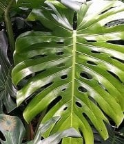 Monstera Leaves, Jumbo Leaf