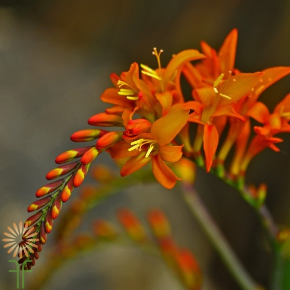 montbretia-orange