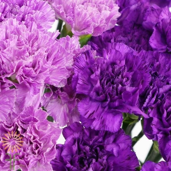 wholesale moon-carnations-purple