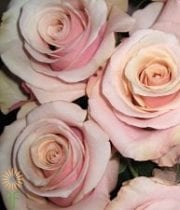 Blush Mother Of Pearl Roses