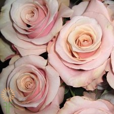 wholesale flowers | rose mother pearl
