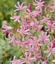 Light Pink Nerine Lily
