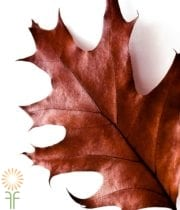 Oak Leaves-red
