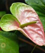 Obake Anthurium, Large