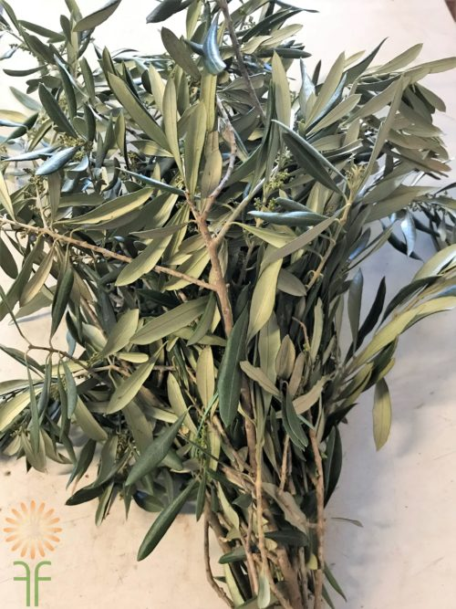 Buy fresh,beautiful olive branch greenery online today!