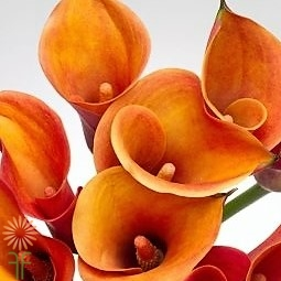 wholesale flowers calla orange