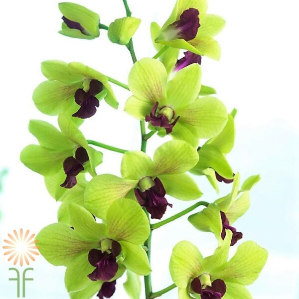 wholesale flowers | orchid- dendrobium green