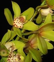 Light Green Cymbidium Orchids, Mini