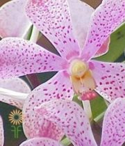 Light Pink Mokara Orchids