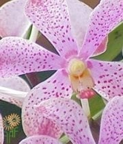 Orchid, Mokara-light Pink