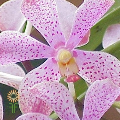 orchid-mokara-pink light