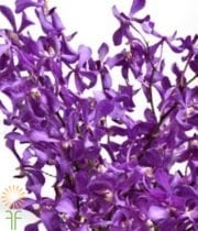 Orchid, Mokara-purple