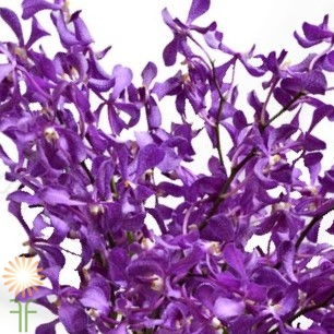wholesale flowers | orchid- mokara purple