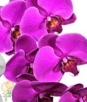 Purple Phalaenopsis Orchid Spray