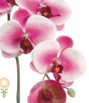 White And Fuchsia Phalaenopsis Spray