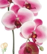 Phalaenopsis Spray-white/fuchsia