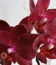 Purple Red Bull Dendrobium Orchid