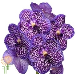 orchid-vanda-purple
