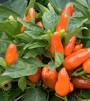 Peppers, Ornamental-orange