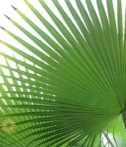Palm Fan Leaf