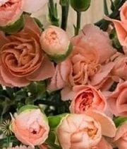 Peach Mini Carnations
