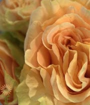 Rose, Garden S.A.-Finesse-peach