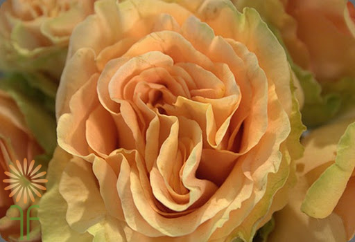 wholesale flowers | garden rose  finesse