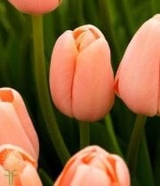 Peach Greenhouse Tulips